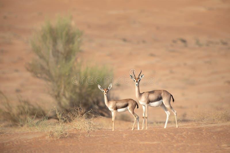Gacela de la montaña de la madre y del bebé en dunas del desierto imagenes de archivo