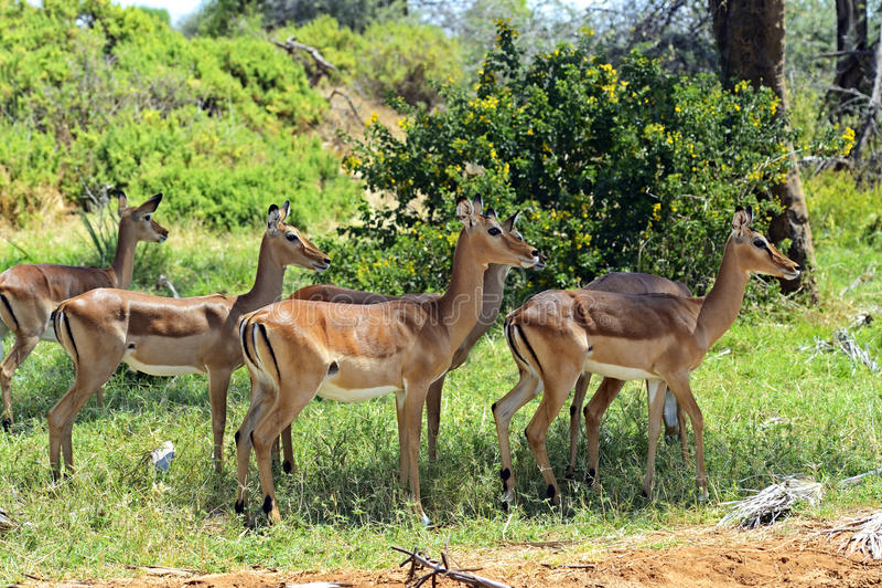 Gacela del impala fotos de archivo libres de regalías