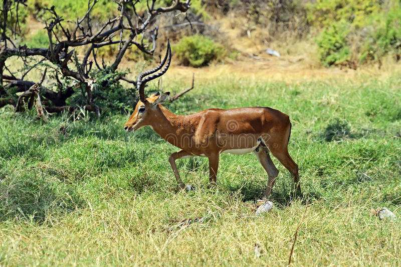 Download Gacela del impala foto de archivo. Imagen de kenia, ungulates - 44851528