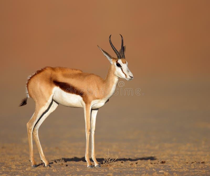 Gacela en los llanos arenosos del desierto fotos de archivo