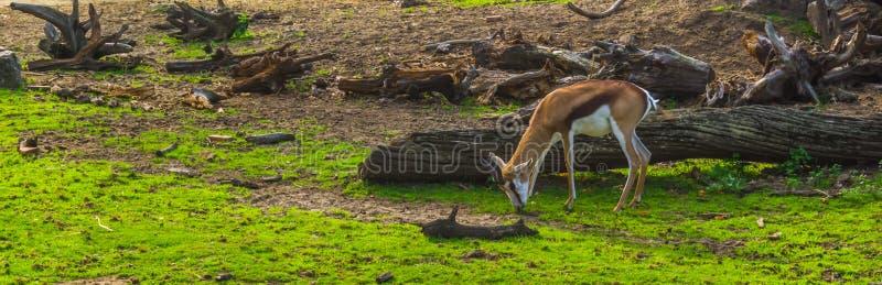 Gacela que pasta en el pasto, antílope común de THOMSON de África imagenes de archivo