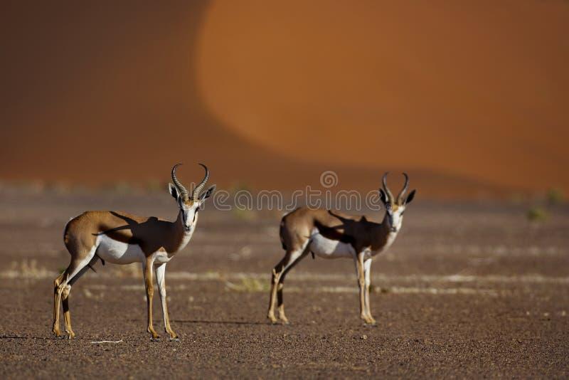Gacelas delante de las dunas rojas del desierto foto de archivo libre de regalías