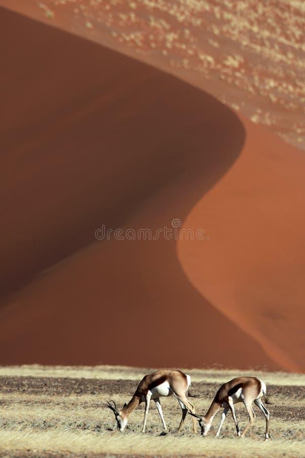 Gacelas delante de las dunas rojas del desierto imagen de archivo libre de regalías