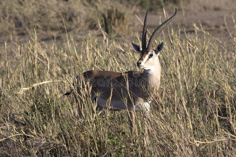 Gacelas masculinas de Grant entre la alta hierba seca en el duri de la sabana fotos de archivo