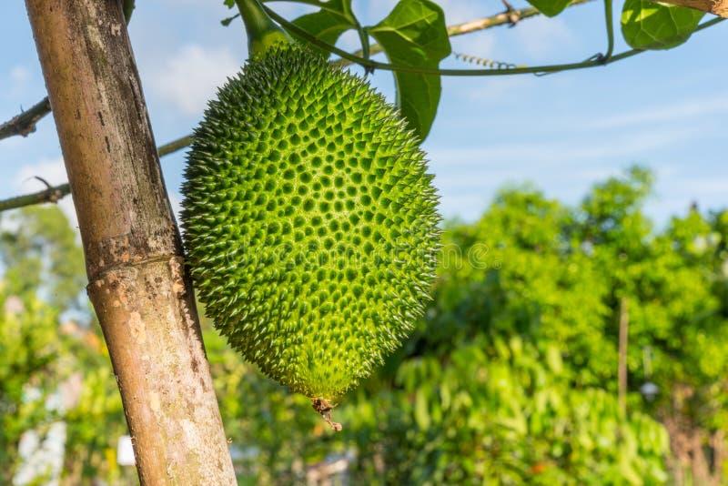 Gacfruit in een landbouwbedrijf royalty-vrije stock foto's