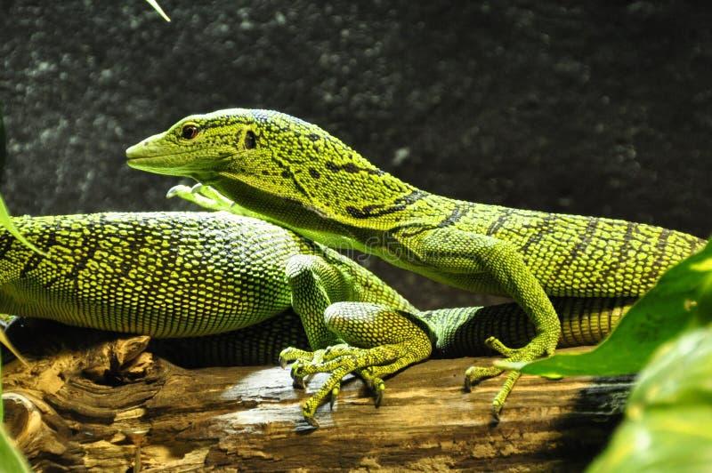 Gad, Ważący gad, Lacertidae, fauna obraz stock