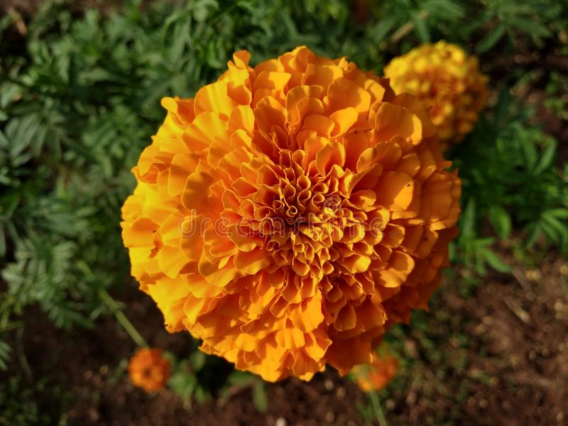 Gada κίτρινα λουλούδια λουλουδιών λουλουδιών όμορφα στοκ φωτογραφίες με δικαίωμα ελεύθερης χρήσης