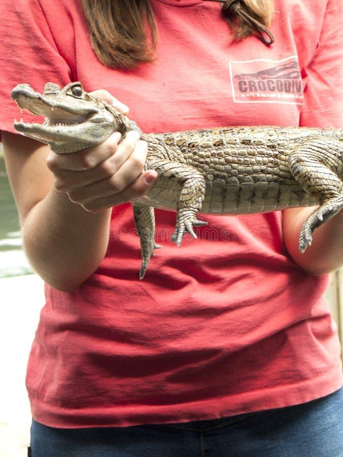 Gada przedstawienie wystawia Spectacled caiman Caiman crocodilus krokodyli w rodzinnym Alligatoridae, obrazy royalty free