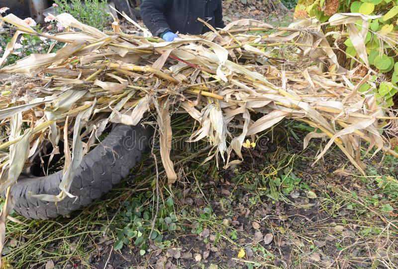 Gaderer faisant la protection d'hiver pour le rosier s'élevant avec les tiges de maïs et le pneu de voiture secs photographie stock