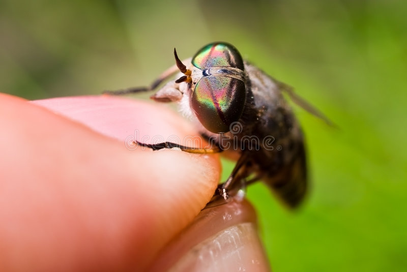 Gadfly eyes royalty free stock photography