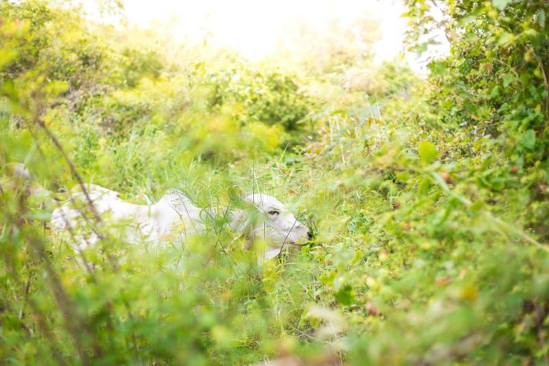 Gado americano do brâmane em explorações agrícolas naturais abundantes fotografia de stock royalty free