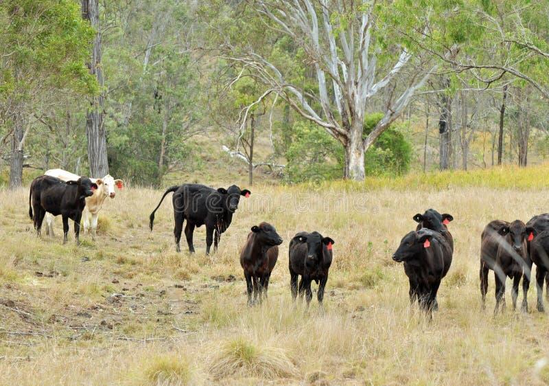 Gado australiano do brâmane que pasta o pasto da terra da grama fotos de stock royalty free