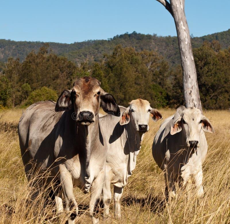 Gado australiano do brahman da indústria da carne imagem de stock