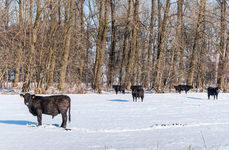 Gado de Angus na neve pristine imagem de stock