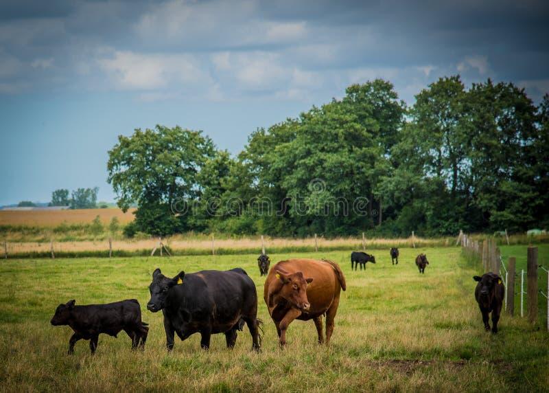 Gado de Galloway em uma exploração agrícola foto de stock
