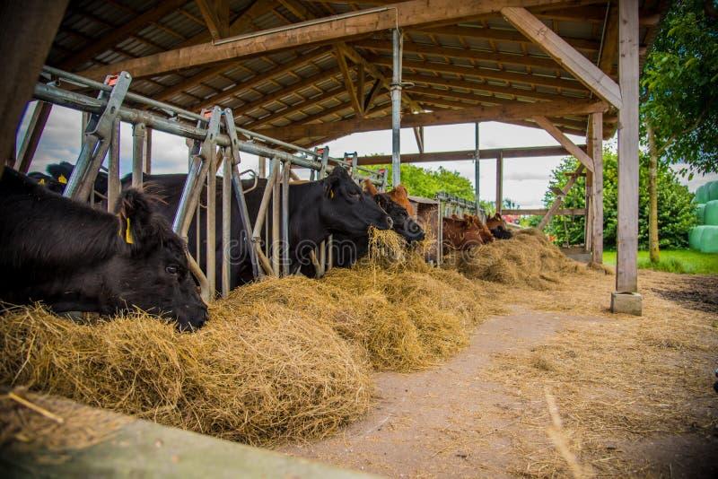 Gado de Galloway em uma exploração agrícola fotografia de stock
