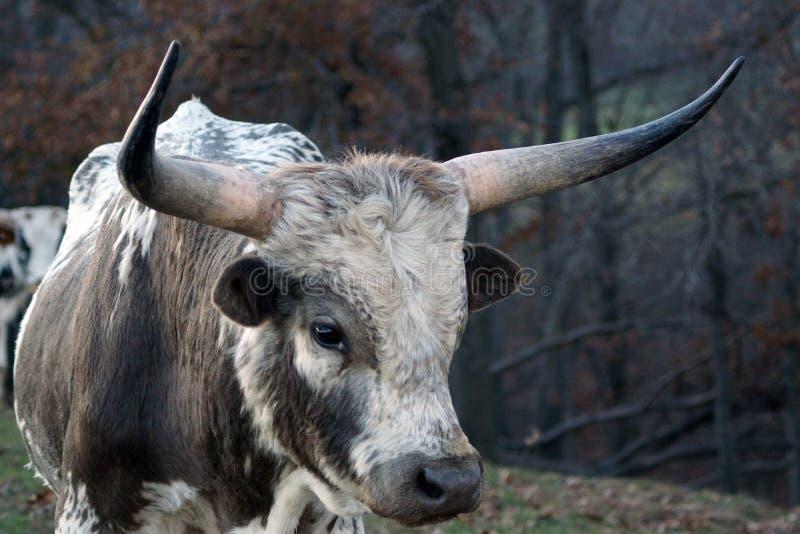 Gado de Texas Longhorn fotos de stock