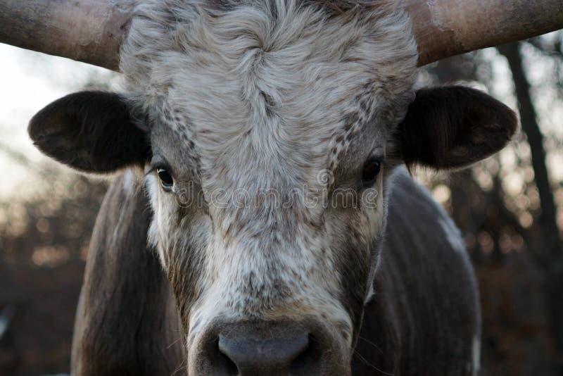 Gado de Texas Longhorn foto de stock royalty free