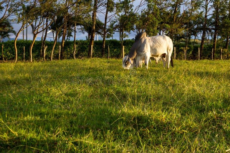 Gado do brâmane - Bos Indicus imagem de stock