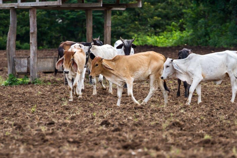 Gado do brâmane em Costa Rica fotografia de stock