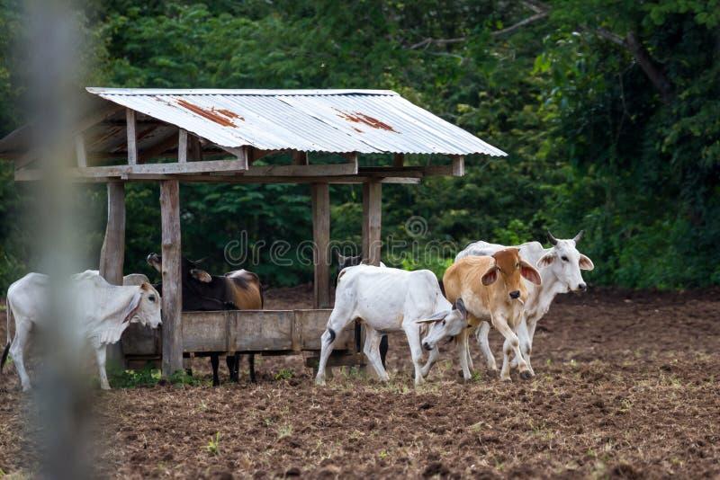 Gado do brâmane em Costa Rica imagem de stock royalty free