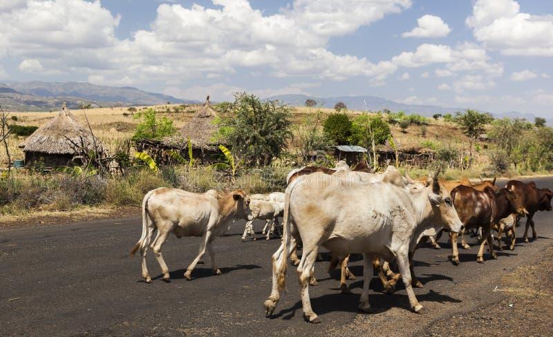 Gado do gebo na estrada Vale de Omo perto de Konso, Etiópia foto de stock