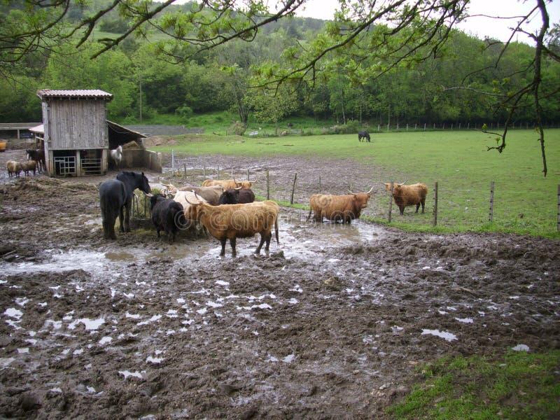 Gado e cavalar em um campo enlameado imagem de stock