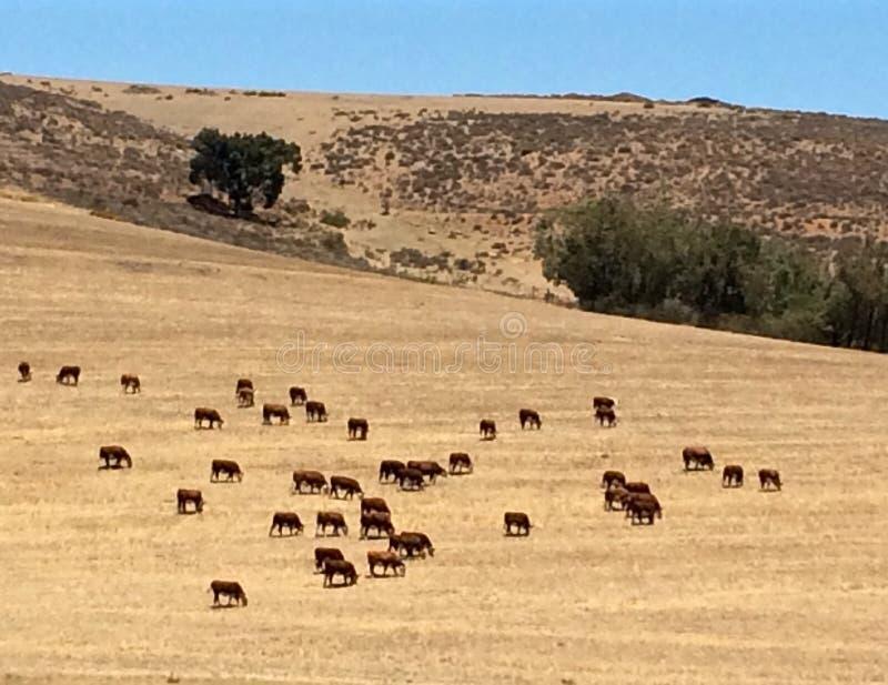 Gado e vitelas de África do Sul que pastam na exploração agrícola fotografia de stock