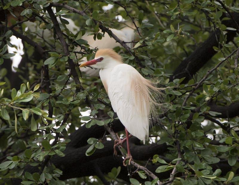 Gado-egret empoleirado em uma árvore fotografia de stock