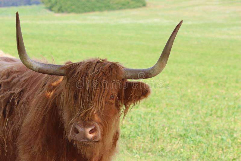 Gado escocês das montanhas em um grande pasto foto de stock royalty free