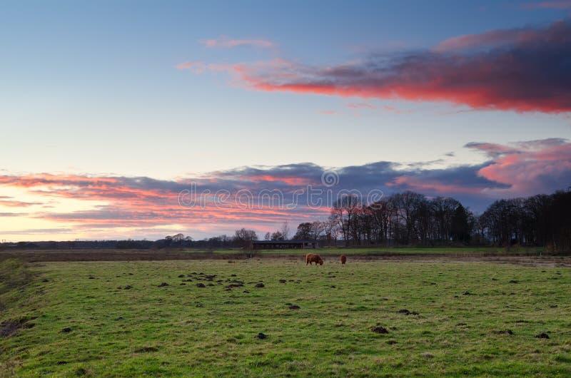 (Gado escocês do gado das montanhas) no pasto foto de stock royalty free