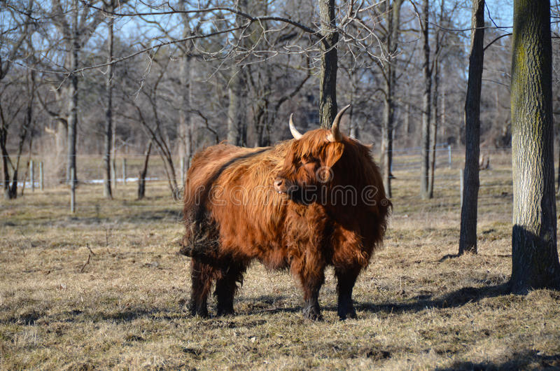 Gado escocês no inverno atrasado do pasto foto de stock royalty free