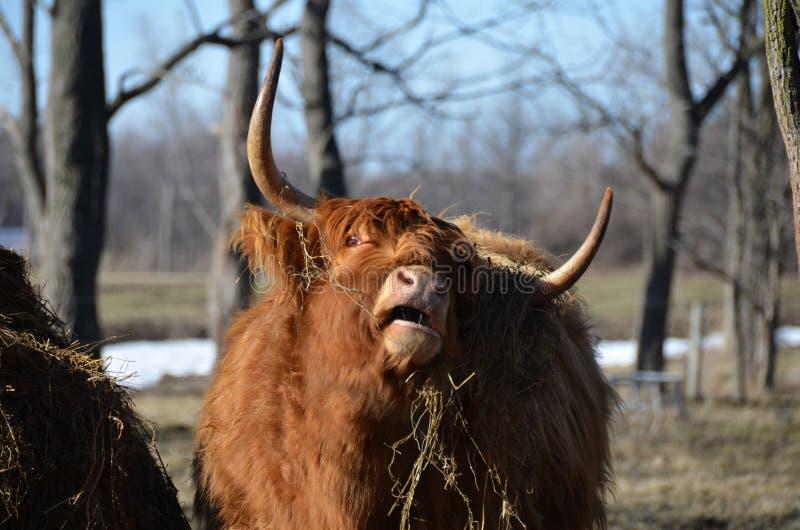 Gado escocês que estica o pescoço ao comer o feno fotos de stock