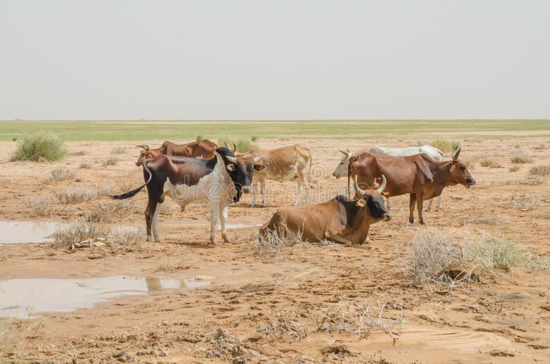 Gado mauritano com touros e vacas no deserto de Sahara no waterhole, Mauritânia, Norte de África fotos de stock royalty free