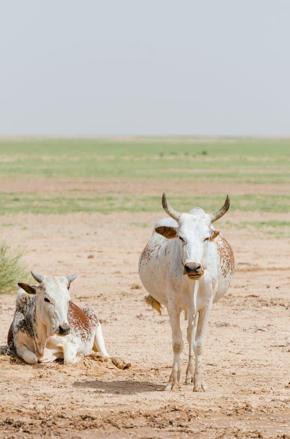 Gado mauritano com touros e vacas no deserto de Sahara no waterhole, Mauritânia, Norte de África fotografia de stock royalty free