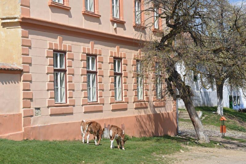 Gado na rua da vila romena tradicional de Visc fotos de stock royalty free
