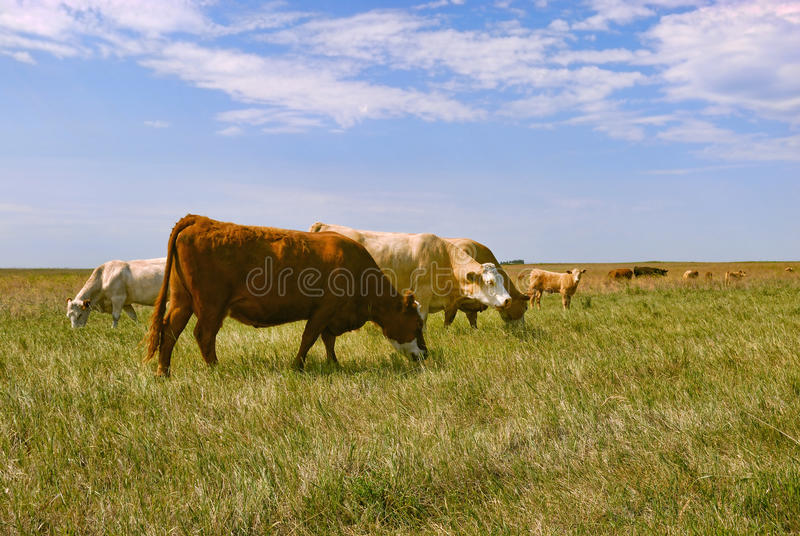 Gado no campo fotografia de stock royalty free