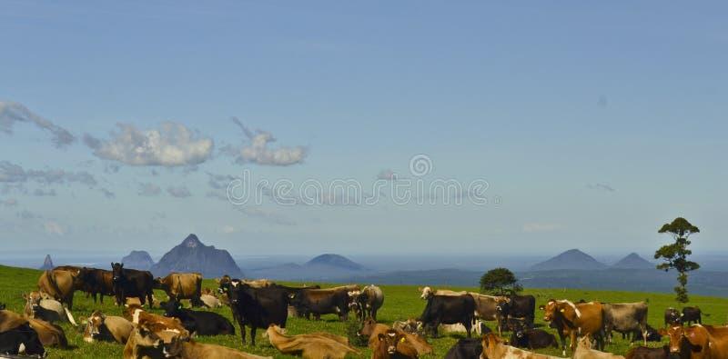 Gado que descansa na frente das montanhas da estufa, costa da luz do sol, Queensland, Austrália fotografia de stock royalty free