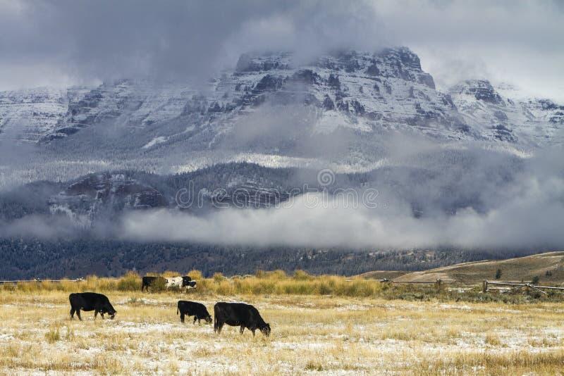 Gado que pasta no campo de Wyoming com neve foto de stock royalty free