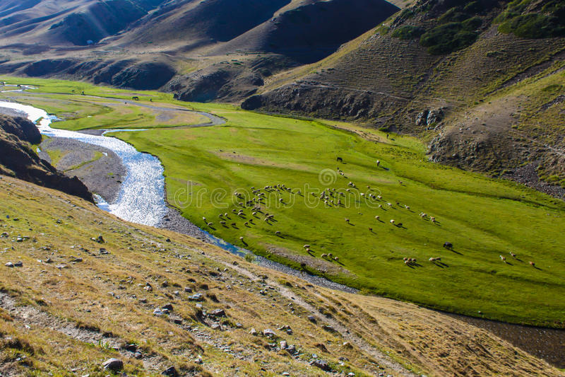 Gado que pasta no platô do Assy com o rio em Turgen, Cazaquistão imagem de stock