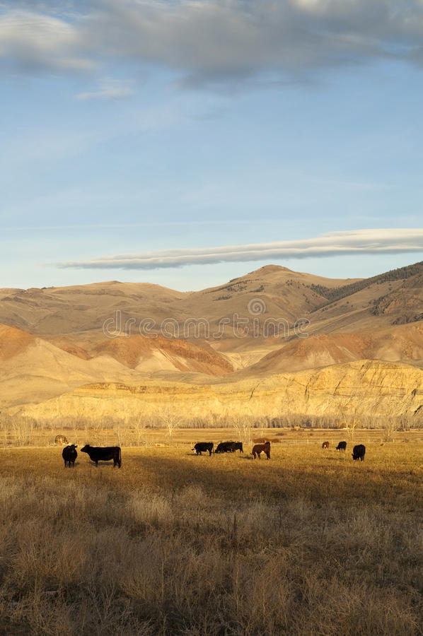 Gado que pasta o Lan ocidental da montanha dos animais da fazenda de criação do rancho imagem de stock royalty free