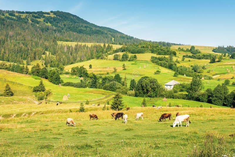 Gado que pasta o prado nas montanhas imagem de stock royalty free