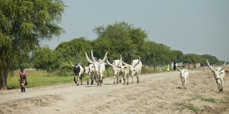 Gado que reune em Sudão sul fotos de stock