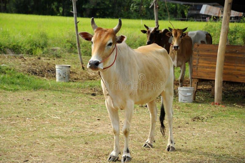 Gados bovinos imagem de stock royalty free