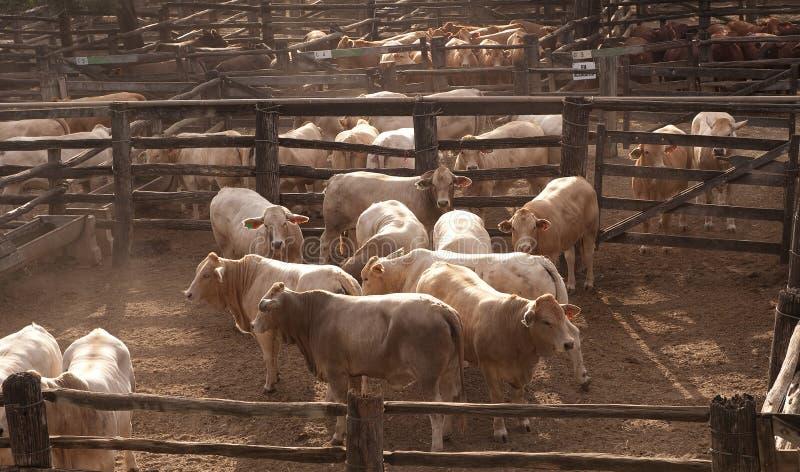 Gados bovinos fotografia de stock