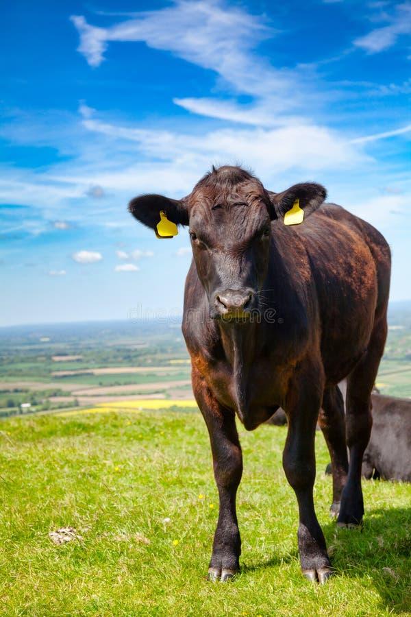 Gados bovinos pretos de Aberdeen Angus que pastam em Inglaterra do sul Reino Unido fotografia de stock royalty free