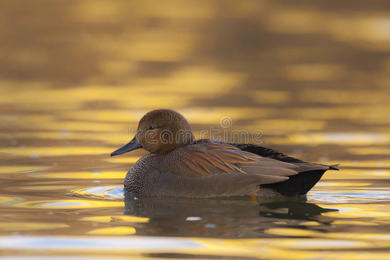 Gadwall Anas strepera adult male in winter plumage royalty free stock photos
