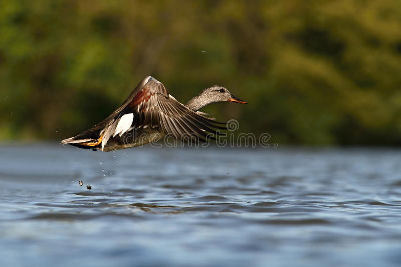 Download The Gadwall Anas strepera stock image. Image of wild - 32313687