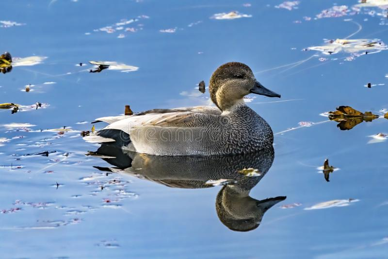 Gadwall Duck Blue Water Juanita Bay Park Lake Washington Kirkland. Washiington stock photography