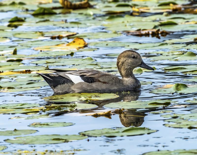 Gadwall Duck Lily Pads Juanita Bay Park Lake Washington Kirkland. Gadwall Duck Green Lily Pads Juanita Bay Park Lake Washington Kirkland Washiington royalty free stock images